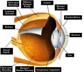 gambar mata pada manusia